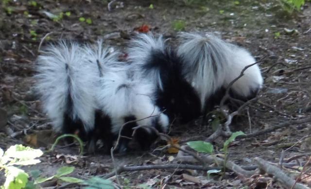 2015-06-24 Skunk and skunk babies 014