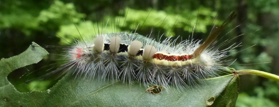 2015-06-29 tussock moth caterpillar 001rev