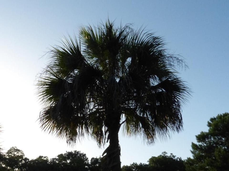 mission palm