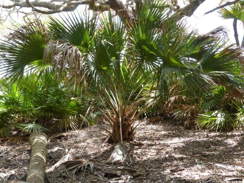youngpalm