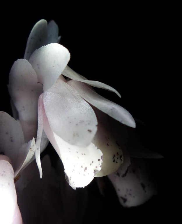 2015-07-13 indian pipe monotropa 009