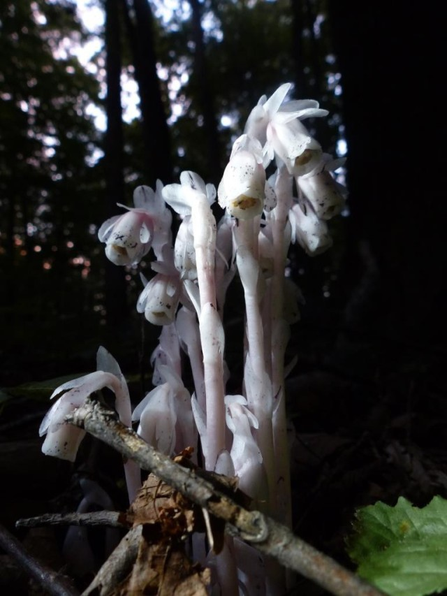 2015-07-13 indian pipe monotropa 018