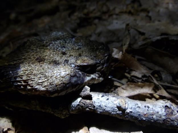 2015-08-05 Rattlesnake head1