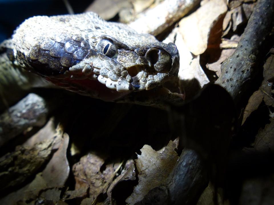 2015-08-05 Rattlesnake head2