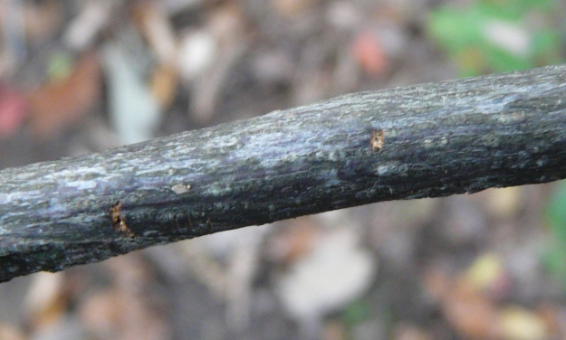 Bark scars: eggs below.