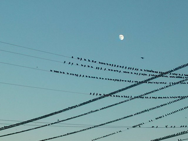 starlings moon