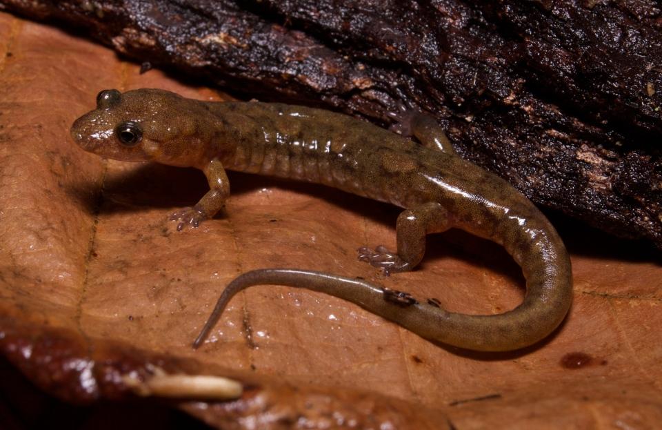 Cumberland Dusky Salamander (Desmognathus abditus)