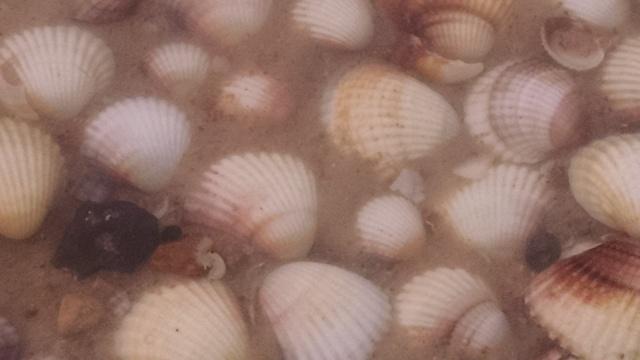 salinelake_shrimp