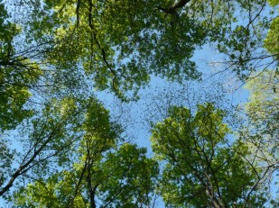 canopy-leafing-out