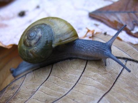 mesomphix-snail
