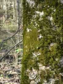 moss-on-trunk