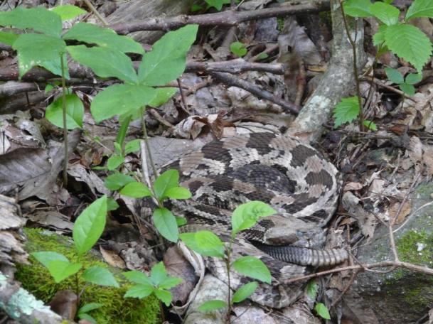 rattlesnake-003