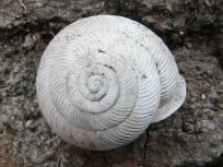 xolotrema-caroliniense-top