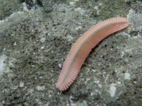 young-millipede-shakerag-hollow-limestone_aug2009-004