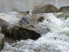 2013-08-10-nightheron-upstream-from-confluence-park-2