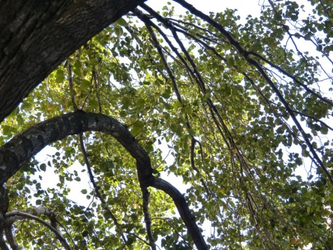 2013-10-21-callery-pear-arch-over-street
