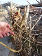 2013-12-19-cottonwood-after-beavers-2