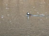2013-12-20-merganser-at-confluence-park