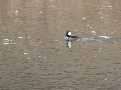 2013-12-20-merganser-at-confluence-park