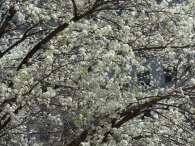 2014-04-16-callery-pear-bloom-2