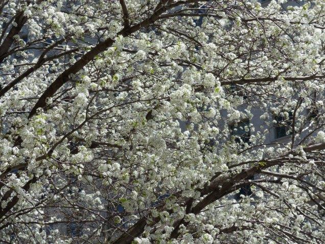 2014-04-16-callery-pear-bloom-2