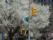 2014-04-16-callery-pear-bloom