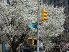 2014-04-16-callery-pear-bloom