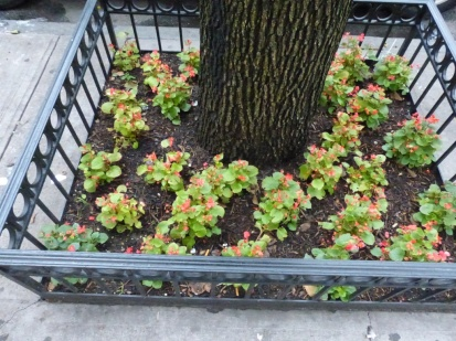 2014-07-16-callery-pear-summer-planting