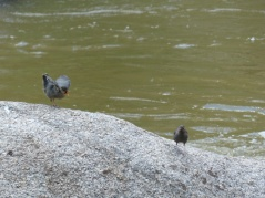 2014-08-07-dippers-at-eleven-mile-canyon