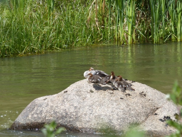 2014-08-07-eleven-mile-canyon-mergansers