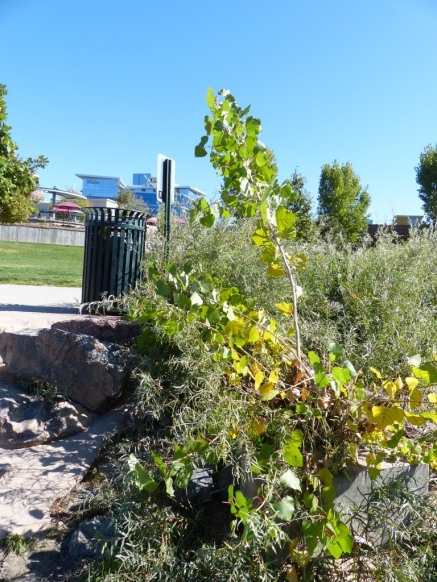 2014-10-05-001-cottonwood-at-confluence-park