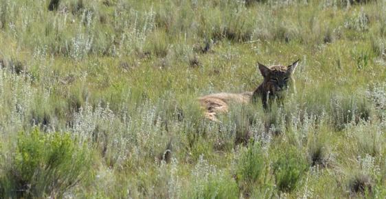 bobcat-florissant-copy