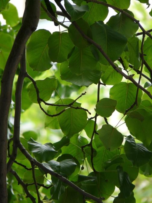 callery-pear-leaves