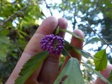 callicarpa-japonica-on-miyajima-appalachian-kin
