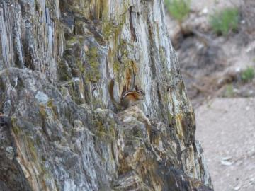 colorado-chipmunk-copy