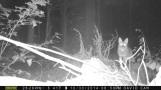 coyote-on-log