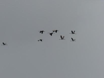 cranes-near-tel-megiddo
