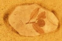 fagopsis-longifolia-florissant-fossil-at-yale-peabody-museum-copy