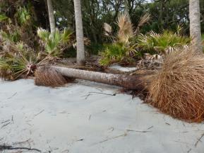 fallen-sabal-palm
