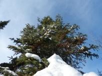 fir-from-below