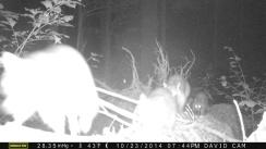 four-raccoons-on-log