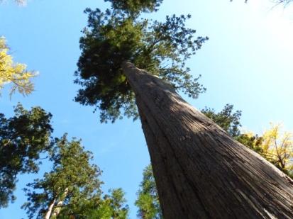 kawakami-gozen-shrine-cryptomeria-trees
