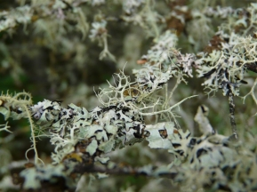 lichen-in-fir