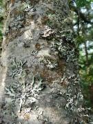 lichen-on-fir-trunk
