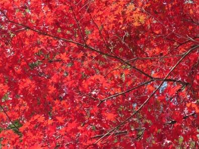 miyajima-japanese-maples