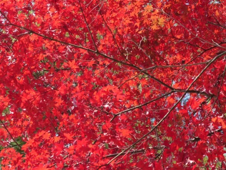 miyajima-japanese-maples