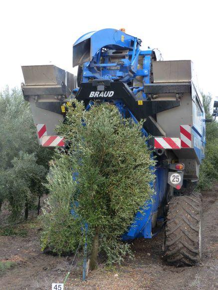 olive-harvester-near-tel-megiddo