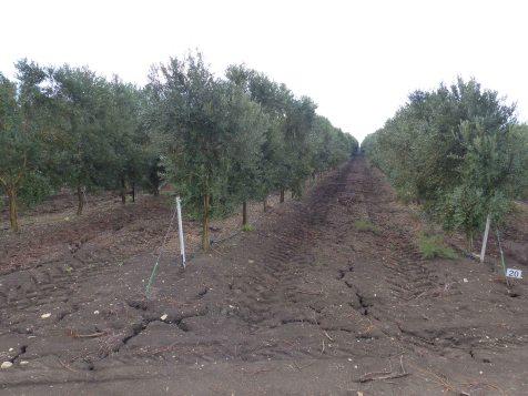 olive-plantation-near-tel-megiddo