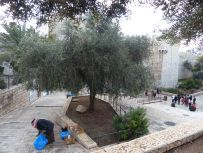 olive-tree-next-to-damascus-gate-7