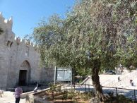olive-tree-next-to-damscus-gate-2